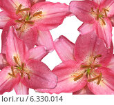 Четыре розовых лилии на белом фоне. Стоковое фото, фотограф ангелина кочугуева / Фотобанк Лори