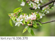 Яблоня в цвету. Стоковое фото, фотограф Александр Антонников / Фотобанк Лори