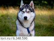 Собака с голубыми глазами породы хаски в лесу. Стоковое фото, фотограф Николай Винокуров / Фотобанк Лори