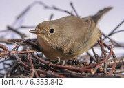 Птица в гнезде. Стоковое фото, фотограф Alexey Kizenkov / Фотобанк Лори