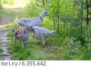 Купить «Коза с козлятами в лесу», эксклюзивное фото № 6355642, снято 25 июля 2014 г. (c) Елена Коромыслова / Фотобанк Лори