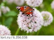 Бабочка Павлиний глаз на цветке дикого лука, эксклюзивное фото № 6356038, снято 3 августа 2013 г. (c) Константин Косов / Фотобанк Лори