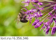 Пчела медоносная на цветке дикого лука, эксклюзивное фото № 6356346, снято 25 мая 2014 г. (c) Константин Косов / Фотобанк Лори