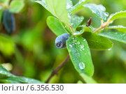 Купить «Ягоды спелые на кусту жимолости», фото № 6356530, снято 8 июня 2013 г. (c) Елена Вяселева / Фотобанк Лори