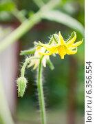 Купить «Цветок помидора», фото № 6356554, снято 14 июля 2013 г. (c) Елена Вяселева / Фотобанк Лори