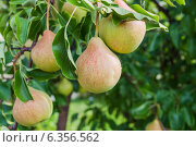 Купить «Спелые груши на дереве», фото № 6356562, снято 6 августа 2013 г. (c) Елена Вяселева / Фотобанк Лори