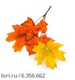 Купить «Яркие осенние листья на ветке», фото № 6356662, снято 2 октября 2011 г. (c) Елена Вяселева / Фотобанк Лори