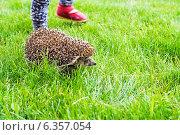 Купить «Ежик убегает по траве от ребенка», фото № 6357054, снято 8 июня 2014 г. (c) Елена Вяселева / Фотобанк Лори