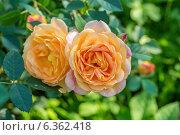 Купить «Английская кустовая роза Леди оф Шалот David Austin», фото № 6362418, снято 6 июля 2014 г. (c) Ольга Сейфутдинова / Фотобанк Лори