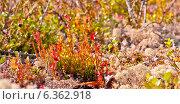 Краски осенней природы Севера. Стоковое фото, фотограф Oleksii Pyltsyn / Фотобанк Лори