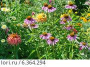 Купить «Эхинацея пурпурная (лат. Echinacea purpurea) среди садовых цветов», эксклюзивное фото № 6364294, снято 27 июля 2014 г. (c) Елена Коромыслова / Фотобанк Лори