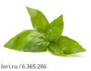 Sweet basil leaves. Стоковое фото, фотограф Natalja Stotika / Фотобанк Лори