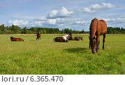 Купить «Лошади на ферме. Пасторальный пейзаж», фото № 6365470, снято 17 августа 2014 г. (c) Валерия Попова / Фотобанк Лори