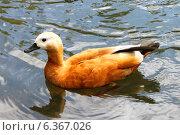 Оранжевая уточка на воде. Стоковое фото, фотограф Романова Евгения / Фотобанк Лори
