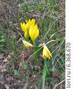 Желтые крокусы в сухой траве. Стоковое фото, фотограф masebora / Фотобанк Лори