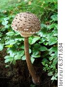 Купить «Гриб Зонтик пестрый Macrolepiota (Macrolepiota procera)», фото № 6371634, снято 13 сентября 2013 г. (c) ElenArt / Фотобанк Лори