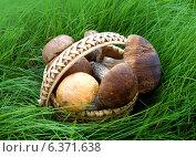 Купить «Грибы в берестянной корзине на траве», фото № 6371638, снято 13 сентября 2013 г. (c) ElenArt / Фотобанк Лори