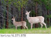 Купить «Deer in a forest, Jasper National Park, Alberta, Canada», фото № 6371978, снято 22 января 2019 г. (c) Ingram Publishing / Фотобанк Лори