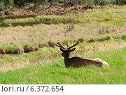 Купить «Elk (Cercus canadensis) resting on grass, Jasper National Park, Alberta, Canada», фото № 6372654, снято 18 марта 2019 г. (c) Ingram Publishing / Фотобанк Лори