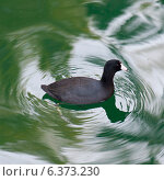 Duck swimming in a pond, Universal Studios, Orlando, Florida, USA. Стоковое фото, агентство Ingram Publishing / Фотобанк Лори