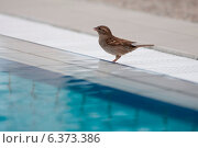 Купить «Sparrow at the side of a swimming pool», фото № 6373386, снято 18 октября 2018 г. (c) Ingram Publishing / Фотобанк Лори