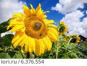 Купить «Яркие подсолнухи на фоне голубого неба», фото № 6376554, снято 20 сентября 2018 г. (c) FotograFF / Фотобанк Лори