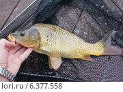 Купить «Рыбалка. Карп в сачке», эксклюзивное фото № 6377558, снято 24 августа 2014 г. (c) Dmitry29 / Фотобанк Лори
