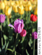 Сиреневый тюльпан на фоне желтых тюльпанов. Стоковое фото, фотограф BoLinar / Фотобанк Лори
