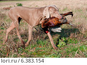 Купить «Hunting dog with a pheasant in its mouth», фото № 6383154, снято 20 марта 2019 г. (c) Ingram Publishing / Фотобанк Лори