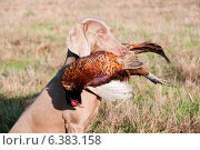 Купить «Hunting dog with a pheasant in its mouth», фото № 6383158, снято 21 марта 2019 г. (c) Ingram Publishing / Фотобанк Лори