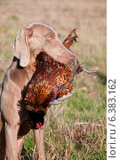 Купить «Hunting dog with a pheasant in its mouth», фото № 6383162, снято 20 марта 2019 г. (c) Ingram Publishing / Фотобанк Лори