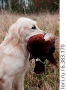 Купить «Hunting dog with a pheasant in its mouth», фото № 6383170, снято 20 марта 2019 г. (c) Ingram Publishing / Фотобанк Лори