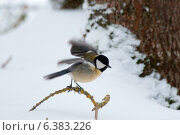 Купить «A blue tit in the snow», фото № 6383226, снято 24 января 2019 г. (c) Ingram Publishing / Фотобанк Лори
