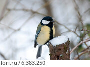 Купить «A blue tit in the snow», фото № 6383250, снято 24 января 2019 г. (c) Ingram Publishing / Фотобанк Лори