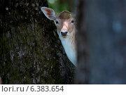 A deer in a woodlands. Стоковое фото, агентство Ingram Publishing / Фотобанк Лори