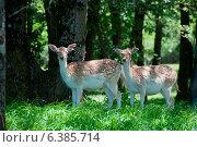 Fallow deer in a woodlands. Стоковое фото, агентство Ingram Publishing / Фотобанк Лори