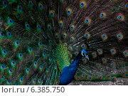 Купить «A peacock displaying it feathers», фото № 6385750, снято 13 ноября 2019 г. (c) Ingram Publishing / Фотобанк Лори