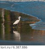 Купить «Egret foraging on the beach, Sayulita, Nayarit, Mexico», фото № 6387886, снято 26 марта 2019 г. (c) Ingram Publishing / Фотобанк Лори