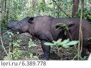 Купить «Sumatran rhino», фото № 6389778, снято 22 января 2019 г. (c) Ingram Publishing / Фотобанк Лори