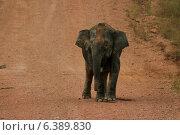 Купить «Borneo pygmy elephant with satellite collar», фото № 6389830, снято 27 марта 2019 г. (c) Ingram Publishing / Фотобанк Лори