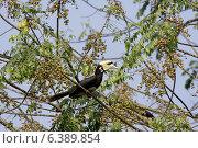 Oriental pied hornbill on fruit tree. Стоковое фото, агентство Ingram Publishing / Фотобанк Лори