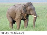 Купить «Asian elephant bull wet with mud and water», фото № 6389894, снято 19 октября 2018 г. (c) Ingram Publishing / Фотобанк Лори