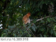 Proboscis monkey on tree. Стоковое фото, агентство Ingram Publishing / Фотобанк Лори