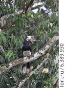 Купить «Oriental pied hornbill on roosting tree», фото № 6389930, снято 25 июня 2019 г. (c) Ingram Publishing / Фотобанк Лори