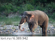 Купить «Asian elephant bull in musth cooling off with water», фото № 6389942, снято 8 декабря 2019 г. (c) Ingram Publishing / Фотобанк Лори