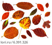 Купить «Коллекция осенних листьев на белом фоне», фото № 6391326, снято 15 августа 2018 г. (c) Евгений Дробжев / Фотобанк Лори
