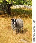 Симпатичная овечка на осеннем пастбище. Стоковое фото, фотограф Валерия Попова / Фотобанк Лори