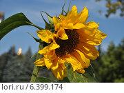 Купить «Подсолнечник (Helianthus annuus L.)», эксклюзивное фото № 6399174, снято 11 сентября 2014 г. (c) lana1501 / Фотобанк Лори