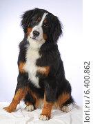 Собака, Бернский зенненхунд, плный рост. Стоковое фото, фотограф vansant natalia / Фотобанк Лори