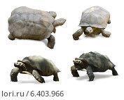 Set of African spurred tortoises. Стоковое фото, фотограф Яков Филимонов / Фотобанк Лори